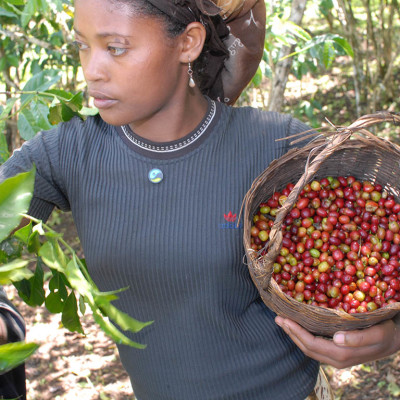 Iskire Aba Oli Picking Coffee in Choche