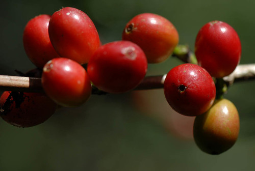 Ready for harvest: ripe coffee cherries