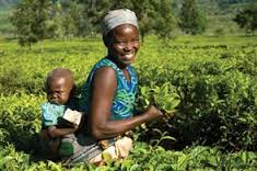 160921_malawian_tea_picker